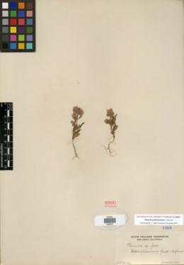 Image of Phacelia austromontana