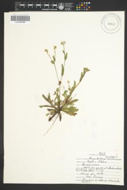Plagiobothrys collinus var. californicus image