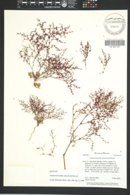 Image of Johanneshowellia crateriorum