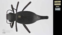 Eleodes longicollis image