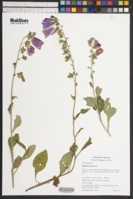 Digitalis purpurea image