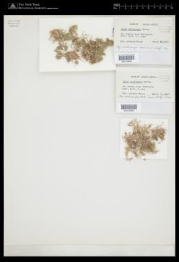 Jania natalensis image