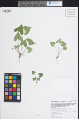 Viola calcicola image