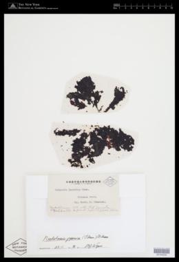 Neoholmesia japonica image