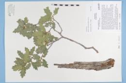 Quercus × pauciloba image