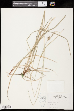 Carex hirsutella image