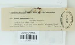 Image of Septoria sileris
