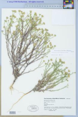 Arida parviflora image