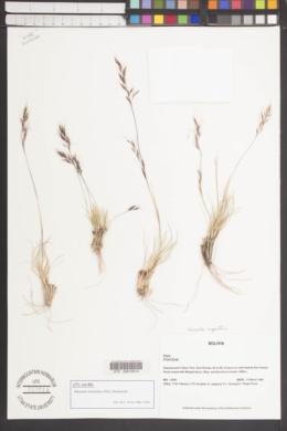 Image of Nassella nardoides