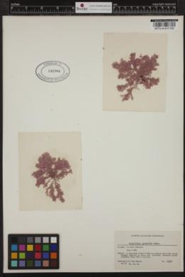 Jania rosea image