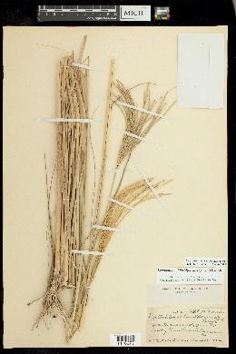 Image of Leptochloa chloridiformis