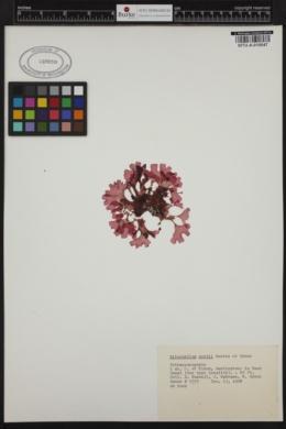 Haraldiophyllum nottii image