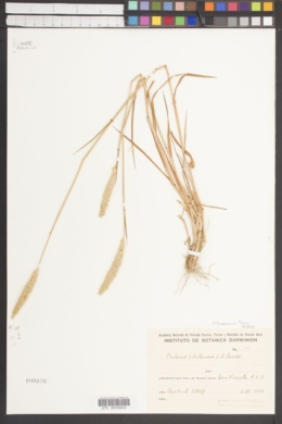 Image of Phalaris platensis