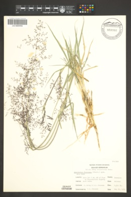 Sporobolus flexuosus image