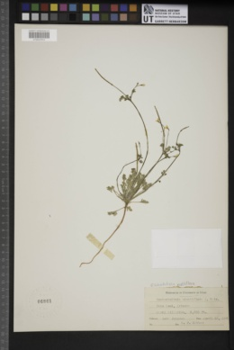 Image of Eschscholzia multiflora