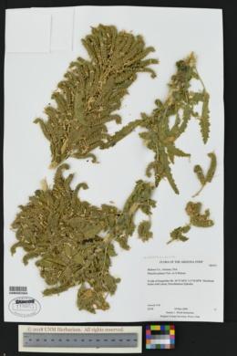 Phacelia palmeri image