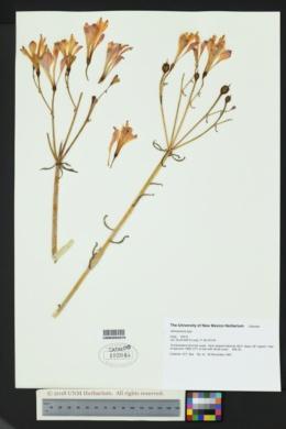 Image of Alstroemeria ligtu