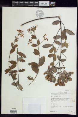 Banisteriopsis campestris image