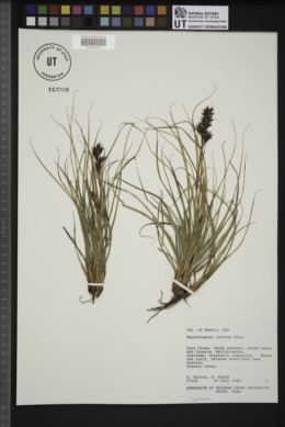Image of Rhynchospora lavarum