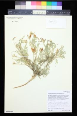 Astragalus missouriensis image