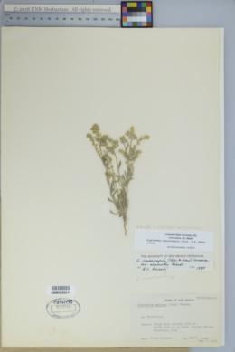 Cryptantha crassisepala var. elachantha image