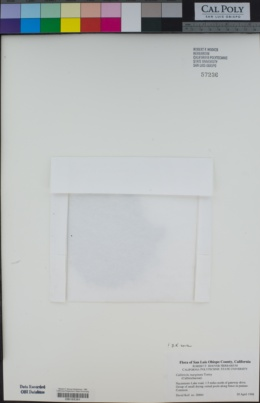 Callitriche marginata image