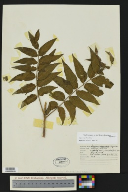 Juglans major image