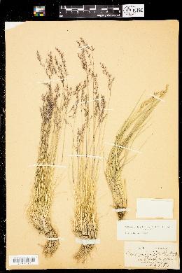 Image of Calamagrostis breweri
