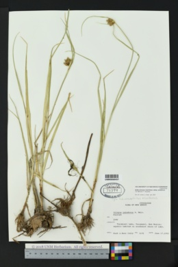 Bolboschoenus maritimus subsp. paludosus image