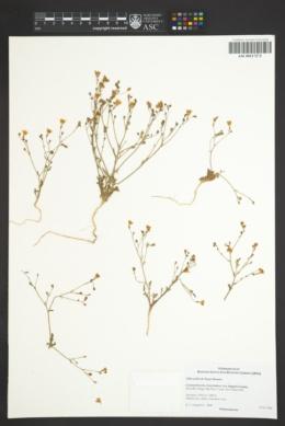 Image of Gilia exilis
