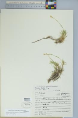 Eremogone eastwoodiae var. adenophora image