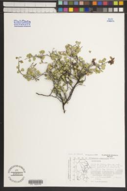 Bauhinia ramosissima image