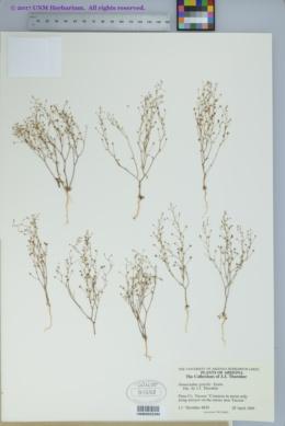 Nemacladus gracilis image