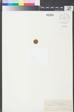 Image of Stephanomeria paniculata