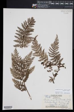Vandenboschia davallioides image