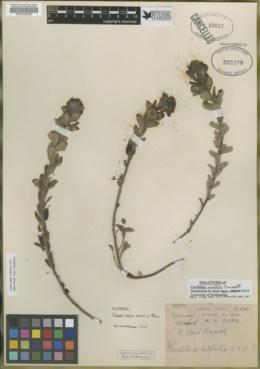 Image of Castilleja mollis