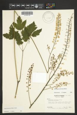 Image of Actaea americana