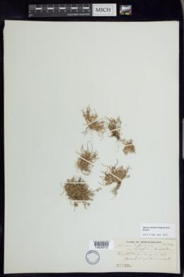 Juncus ambiguus image