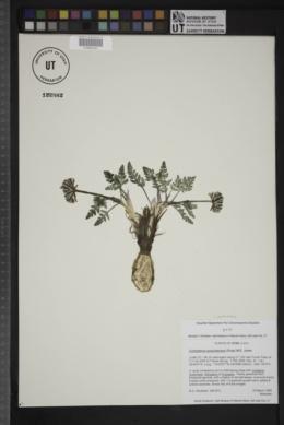 Cymopterus purpurascens image