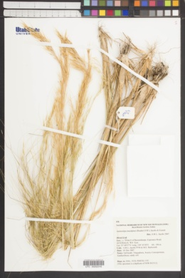 Image of Stipa macalpinei