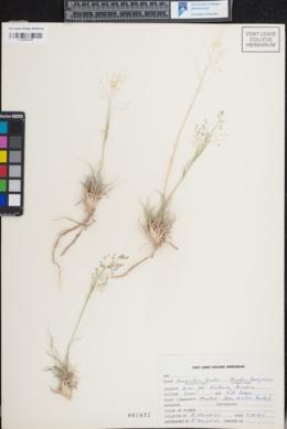 Eragrostis bicolor image