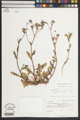 Phacelia crenulata var. angustifolia image