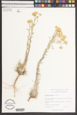 Hymenoxys cooperi image