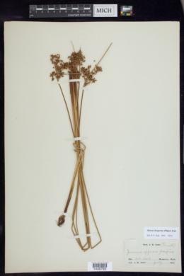 Juncus hesperius image