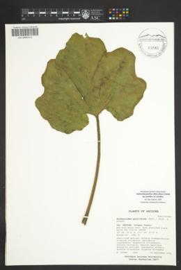 Proboscidea parviflora image