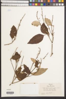 Image of Croton insularis