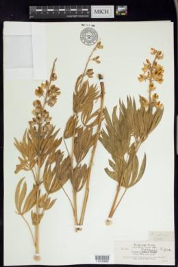Image of Lupinus sabinei