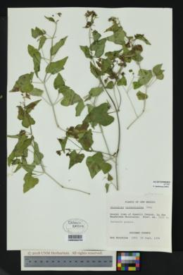 Mirabilis oxybaphoides image