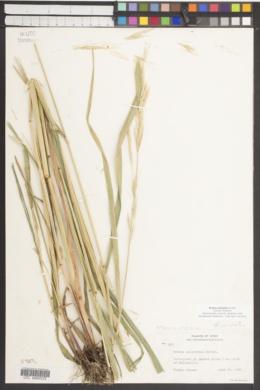 Bromus polyanthus image