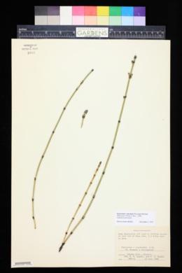 Image of Equisetum x mackaii